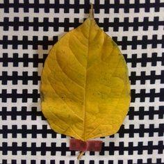 Grosse feuille #flowleaf2015 #21octobre #coussinikea Plant Leaves, Instagram Posts, Plants, Plant, Planting, Planets