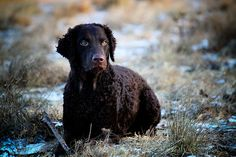 Types of Retriever Dogs. Retrievers were originally hunting dogs whose job was to collect the kill. That is, the different breeds of this type of dog were bred and trained to collect th. Curly Coated Retriever, Rare Dogs, Dog Breeds List, Bluetick Coonhound, Norwich Terrier, Dog Furniture, Dog List, Dog Facts, Retriever Puppy
