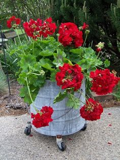 Geraniums in a Galvanized Mop Bucket transplant from hanging planter to old metal mop bucket on wheels to wheel in and out of frosted areas if needed