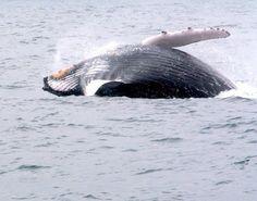 Ballenas Jorobadas en Ecuador