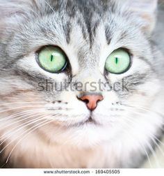#silvercat of #siberian breed - image sold on @shutterstock  #cats #pets