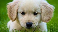 Cachorrito de Golden retiver