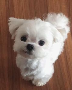 Maltese Poodle, Maltese Dogs, Baby Maltese, Teacup Maltese, Cute Baby Dogs, Really Cute Puppies, Cute Animal Videos, Cute Animal Pictures, Cute Funny Animals