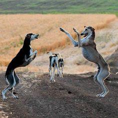 salukis having fun