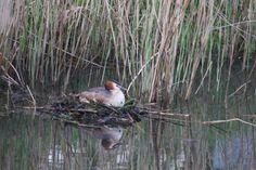 nest in de schuitenbeek bij Nulde