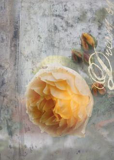 Dream on, Nostalgische Rose Postkarte auf Karton Design by Ruth Stöckli www.gartenbijoux.ch/karten
