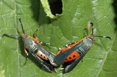 How to identify squash vine borers The adult borer resembles a wasp.Identify and control squash vine borers in home gardens Garden Bugs, Garden Insects, Garden Pests, Garden Care, Edible Garden, Veg Garden, Summer Garden, Squash Plant, Squash Bugs