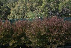 Dodonaea viscosa purpurea - option to screen property line - fast growing good color nice texture low water