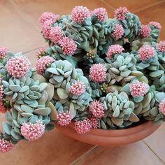 60 Beautiful Succulent Ideas For Summer - Cactus y suculentas - Plants House Plants, Cactus Flower, Pink Succulent, Bloom, Pretty Plants, Plants, Succulents, Flowers, Indoor Plants