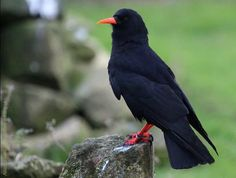 Looking fine, one of the Red-billed Choughs in the winter flocking aviary at Paradise Park, Cornwall