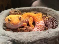 Reptile Habitat, Reptile Room, Reptile Cage, Reptile Enclosure, Cute Funny Animals, Funny Animal Pictures, Cute Baby Animals, Cute Lizard, Cute Gecko