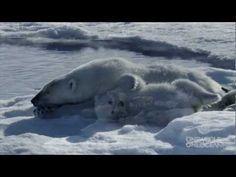 Meet our polar bear family