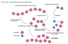Major features of carbohydrate metabolism.