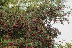 The Hawthorn tree in mid September