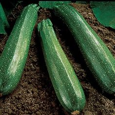 Squash Spineless Beauty Hybrid in The Big Seed Book from Park Seed on shop.CatalogSpree.com, my personal digital mall.
