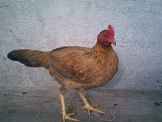 Desparasitantes naturales para pollos y gallinas - Gallos de Guerra