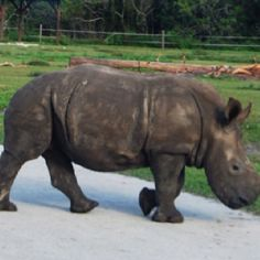 Why did the Rhinoceros cross the road? 12/11 I photographed this at Lion Country Safari in Florida.