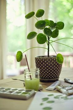 plante originaire de chine, le Pilea peperomioides ou 'plante à monnaie chinoise'