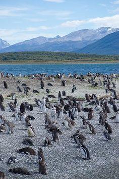 Pingüinera canal Beagle, Tierra del Fuego