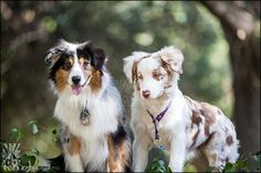 Seeing double merle - Jazz - 6 month old red harlequin merle AussieRowdie - 4yr old blue merle Aussie