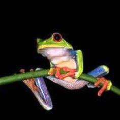 Dart frog.