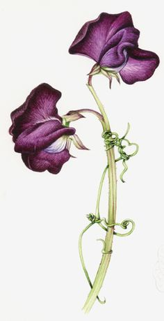 I have to have Sweet Pea for my Sweet P! Painting a Sweet Pea - July 2013 – Lizzie Harper Illustration ¦ Botanical Illustration & Scientific Illustration by Lizzie Harper Sweet Pea Tattoo, Illustration Blume, Botanical Illustration, Motif Floral, Arte Floral, Botanical Drawings, Botanical Prints, Brust Tattoo, Sweet Pea Flowers