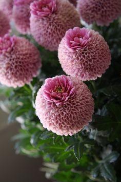 Lovely Blooms, chrysanthemum crown!
