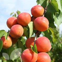 APRICOT TREE TOMCOT- Prunus armeniaca Zones 4 Chill: 500 hrs - Plants