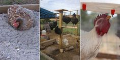 Here are some things you can add to the coop to increase the chances of a high amount of fresh eggs every morning and enhance your chicken's comfort level.