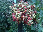 หมากแดง (Cyrtostachys renda๗