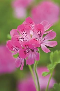 Sarah Raven's rose geranium cordial recipe – perfect for autumn drinks when pelargoniums are at their best. Love Flowers, My Flower, Beautiful Flowers, Lemon Cordial Recipe, Pink Perennials, Scented Geranium, Fall Drinks, Love Garden, Edible Flowers