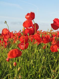 In Flanders Fields the poppies grow, between the crosses, row on row. Flanders Poppy, Flanders Field, Meadow Flowers, Wild Flowers, Poppy Flowers, Champs, Remembrance Day, Green Life, Red Poppies