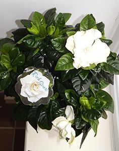 Common Gardenia - Cape Jasmine - Gardenia Jasminoides - Heavenly scented sweet floral fragrance - Beautiful cream white flowers and shiny, tropical dark green leaves - Evergreen with long flowering period - Ideal Birthday, wedding or thank you gift - Wonderful as an indoor houseplant. (1, No pot) Best4garden http://www.amazon.co.uk/dp/B00UZ2BAMK/ref=cm_sw_r_pi_dp_6bIswb0HFVQW0
