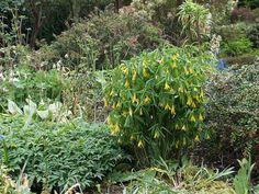 Uvularia grandiflora - bellwort - rain garden - part shade