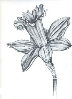 Black and white daffodil drawing - Google Search