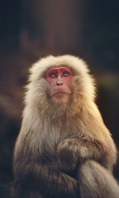 ˚Snow Monkey..found in Japan. The overcrowding of monkeys in the geo saunas of Japan, had become a problem for people wanting to use them. Instead of killing them, the Japanese designated certain pools for them and certain ones for the monkeys. Win, win situation. Don't know how they did it, but it worked. Bravo, Japan!