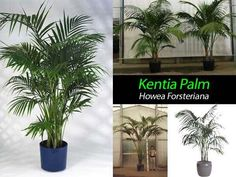Kentia palm care or Howea forsteriana - a tough indoor palm tree gracing interiors since the Victorian days. Watering, lighting, yellow leaves [LEARN MORE]