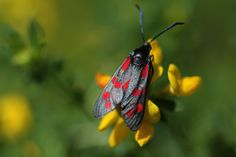 LONDON, ENGLAND A Six-spot Burnet moth sits on flowers in Ladywell Park.