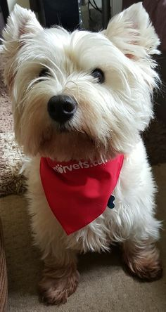 If you have any Manor Bandana photos that you'd like to share with us, please post them on our Facebook page - we would so love to see them! https://www.facebook.com/ManorVets