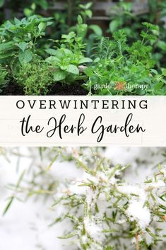House Plant Maintenance Tips Overwintering The Herb Garden-Many Herbs Can Overwinter Outdoors If Cared For Properly. You Can Also Preserve Herbs In Creative Ways And Overwinter Them Indoors. Figure out How To Overwinter Herbs With These Simple Tips. Herb Garden Design, Diy Herb Garden, Garden Plants, Garden Ideas, Garden Guide, Edible Garden, Air Plants, Cactus Plants, House Plants