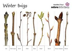 Winter Twig identification chart from The Woodland Trust