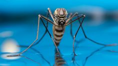 Thanks, climate change, for all the extra mosquito bites — oh, and the Zika. The length of mosquito season is increasing in cities around the U. Types Of Bugs, Curiosity Killed The Cat, Zika Virus, Birds And The Bees, Travel Advisory, Bugs And Insects, New Travel, Science And Nature, Mosquitoes