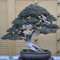 Shimpaku - Urushibata's garden - http://bonsaitonight.com/2009/03/26/urushibata/#