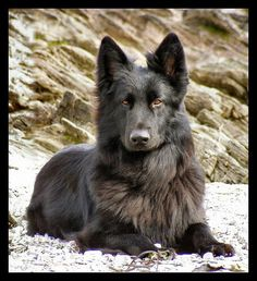 Long haired, black German shepherd. So beautiful