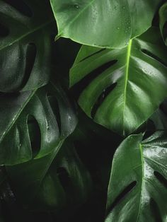 "It is safe to say that the monstera plant is absolutely breathtaking. Nicknamed the ""Swiss cheese plant"" for its giant, holey leaves, the monstera is Plant Images, Plant Pictures, Swiss Cheese Plant, Green Pictures, Plant Wallpaper, Summer Wallpaper, Plant Aesthetic, Plant Background, Monstera Deliciosa"