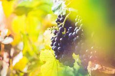 Ripe Wine Grapes in Vineyard Field Free Image Download