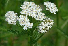 Nazbierajte si vzácnu bylinu s názvom rebríček. Pomáha na všetky neduhy Plants, Fruit, The Fruit, Flora, Plant, Planting