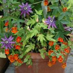 Container #3..... Love the hot colors. This large terra cotta pot holds a purple passion flower, orange monkey flowers and a flowering maple. The choice of colors it pretty bold, but I think it works well in this flowering container garden. The passion flower climbs up a trellis which gives the design some needed height.