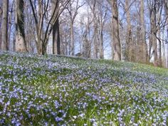 March Bank planted with thousands of blue Glory of the Snow bulbs