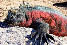 Zeeleguaan, Galapagos
